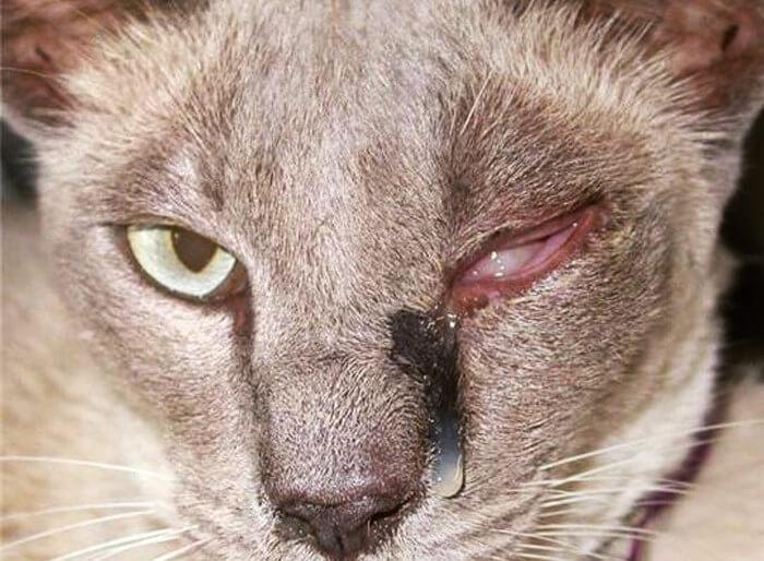 Конъюнктивит у кошки лечение в домашних условиях